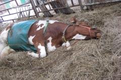 ontspanning bij de koe
